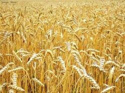 Рынок пожал рост зерна: в Чикаго цены на пшеницу за сутки выросли на 8%