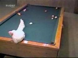 Курица, играющая в бильярд (видео)