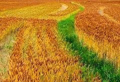 Рост цен на пшеницу создает угрозу мировой экономике
