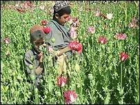 В Афганистане выращен рекордный урожай опийного мака