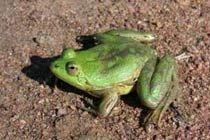 В слизи удивительной лягушки нашли лекарство от диабета