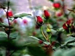 Жительница Ирана отсудила у жадного мужа 124000 красных роз