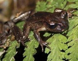 В Новой Зеландии обнаружили тринадцатипалую лягушку