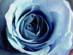 Аромат роз положительно влияет на память