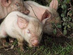 Свиноводы устроили пикет на Даунинг-стрит