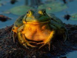 Венгерские экологи провели акцию по спасению лягушек