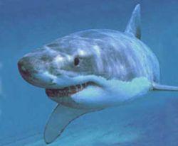 Акула проглотила прибор для защиты людей от акул