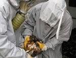Ученые не исключают рукотворного занесения вируса птичьего гриппа в Россию