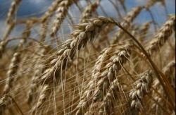 В Иране обнаружен новый и очень агрессивный вид пшеничного грибка