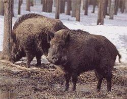 Немцы страдают от нападения диких свиней