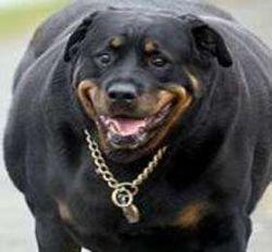 В Британии треть домашних собак страдает от лишнего веса