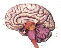 Обнаружен ген, ответственный за формирование коры головного мозга