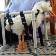 Утка-инвалид перемещается на самокате