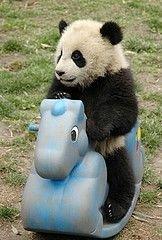 В Макао будет создан парк больших панд