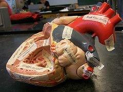 Гормоны, вырабатываемые сердцем, обладают мощным противораковым действием