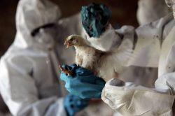 Вирус птичьего гриппа мутирует