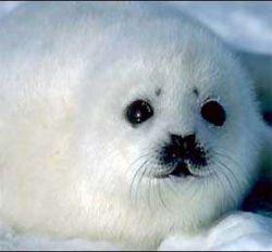 На берегу Белого моря прошла акция против убийства детенышей тюленя