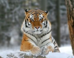 Тигров становится все меньше