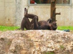 Учёные разговорились с обезьянами