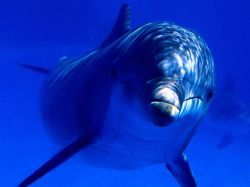 Дельфин-бутылконос спас двух кашалотов