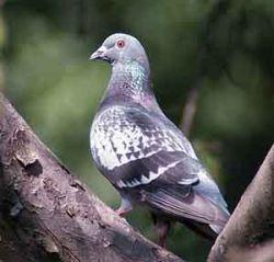 В Австралии голуби напали на здания суда и полиции