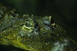 Крокодилы могут плавать, не шевеля лапами и хвостом