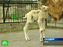 У обычных верблюдов родился снежно-белый малыш
