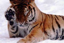 Китайские и российские экологи создадут систему совместного мониторинга перемещений амурского тигра