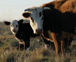 Кубинские животноводы разводят карликовых коров