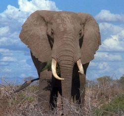 Эколог призывает к отстрелу слонов