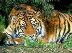 Впервые в балетном спектакле примет участие живая тигрица