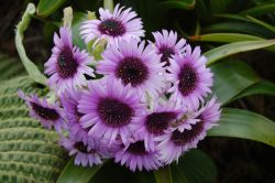 На островах Австралии и Новой Зеландии найдены огромные цветы