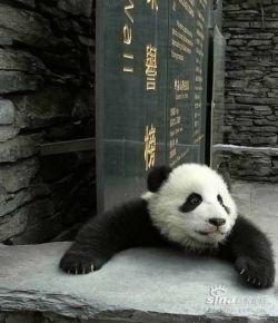Забавная фотосессия маленьких панд (фото)