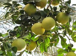 В Японии вывели новый морозоустойчивый грейпфрут