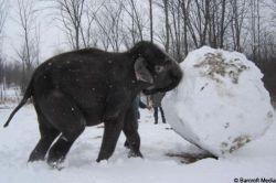 Слоны из парка «Африканское львиное сафари» слепили снеговика (видео)