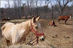 Скотобойни в США скоро будут вне закона