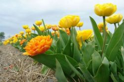 В Голландии готовятся к цветочному параду (фото)