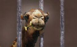 Докажи, что не верблюд. Генпрокуратура спросит чек на каждую покупку