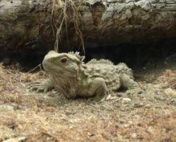Туатара – самое быстро эволюционирующее животное на Земле