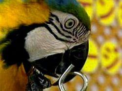 Попугай разгадывает головоломку намного быстрее людей