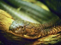 Шведский суд установил, что наблюдение за ядовитыми змеями не вредит здоровью