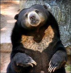 Германия лишилась последнего медведя