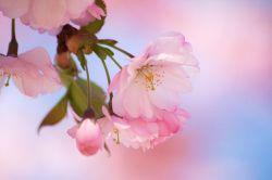 В Японии распустилась сакура (фото)