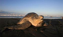 В Китае обнаружена курящая черепаха