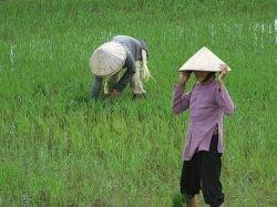В мире заканчивается рис