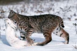 Кадры дикой природы: рысь на охоте (фото)