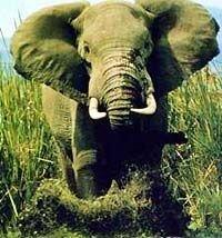 Разъяренная слониха наказала наглых французских туристов