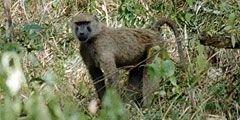 Бабуины терроризируют Кению