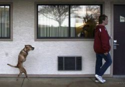 Собака, которая ходит на задних лапах (видео)