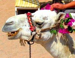 В ОАЭ стартует конкурс красоты среди верблюдов